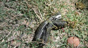 Em Ponta Porã, Cachorro tem cabeça e patas arrancadas em possível ritual de magia negra